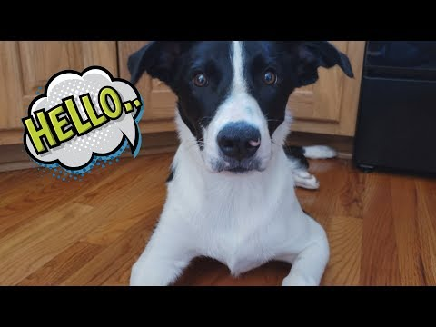Lucky the Smooth Coat Border Collie Introduction + Tricks