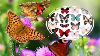 Как нарисовать бабочку? Цветы. Виды бабочек.(Как нарисовать бабочку? Цветы. Виды бабочек. Предлагаю вашему вниманию схемы для изображения бабочек и..., 2017-01-04T14:12:54.000Z)