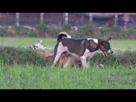 Sweet RuralDogs With Good Feeling - Enjoy Watching Pet Animals On Free Time