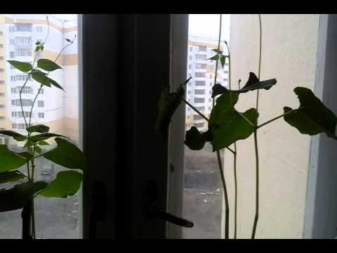 Выращивание фасоли в домашних условиях 35