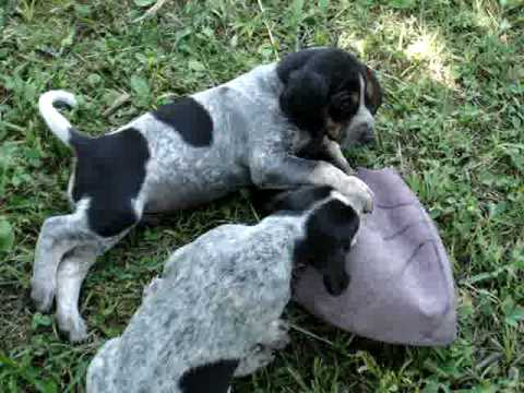 Bluetick Coonhound Puppies Youtube