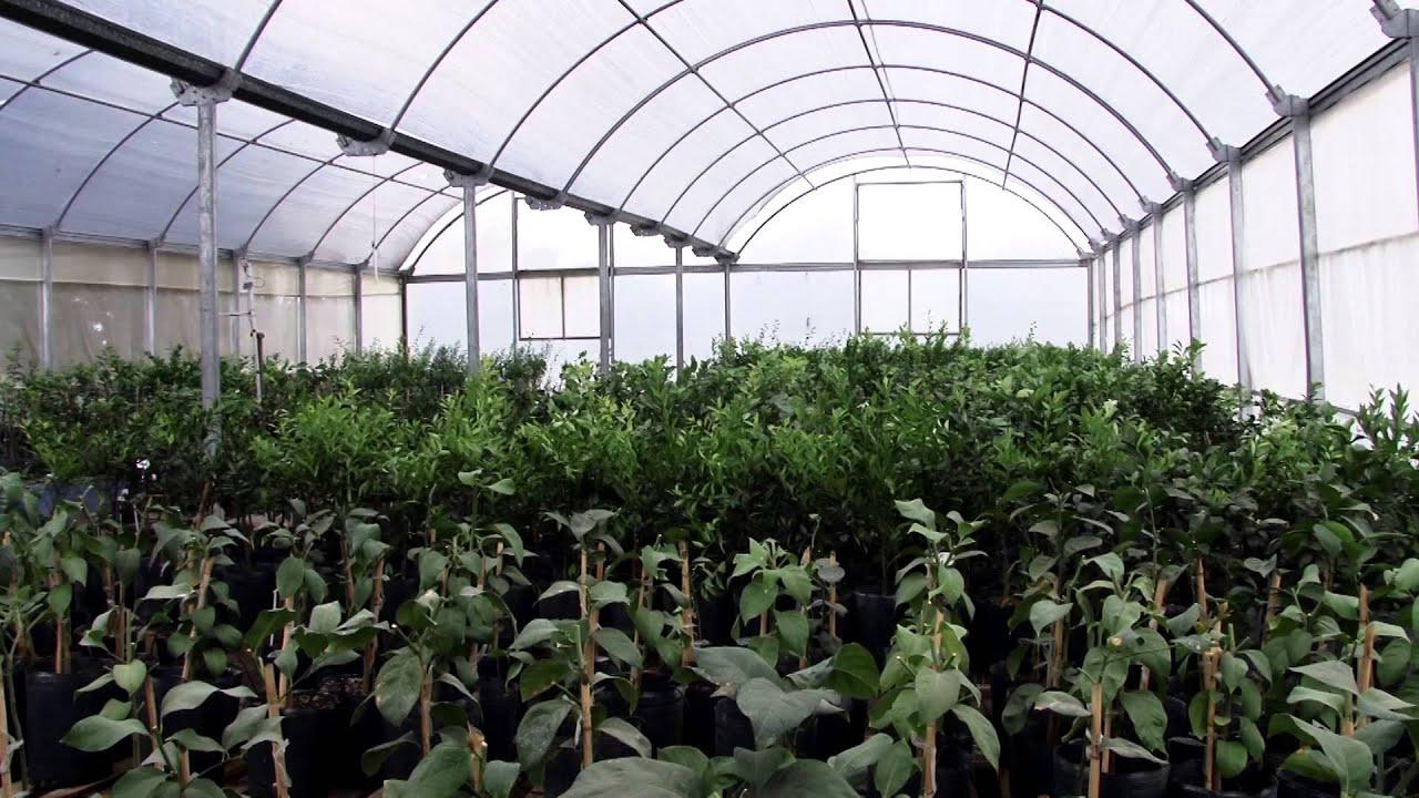 Control de plagas citricas en la producci n de viveros for Produccion de viveros