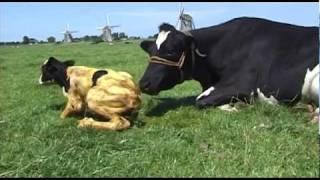 Koe kalft in de wei