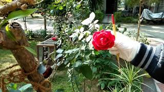 गुलाब के बीज कैसे तैयार करे I