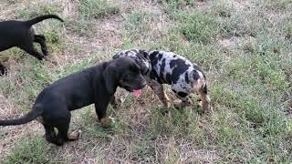 Bloodhound Catahoula's