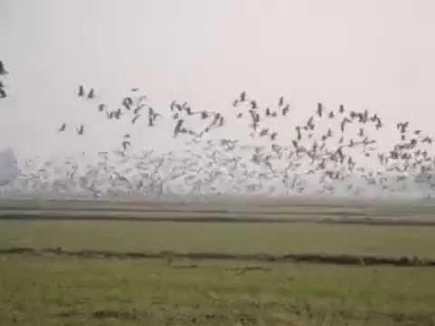 Bar-headed goose in Pakistan