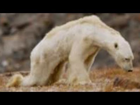 Download Youtube: Polar Bears Are Going EXTINCT - Climate Change Impact environment