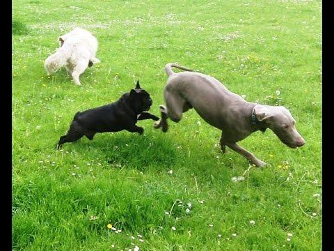 French Bull dog Arley, Retriever Albert & Weimaraner Seb.