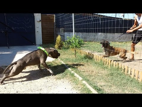 APPROCHE AMERICAN STAFFORDSHIRE TERRIER & BERGER BELGES MALINOIS