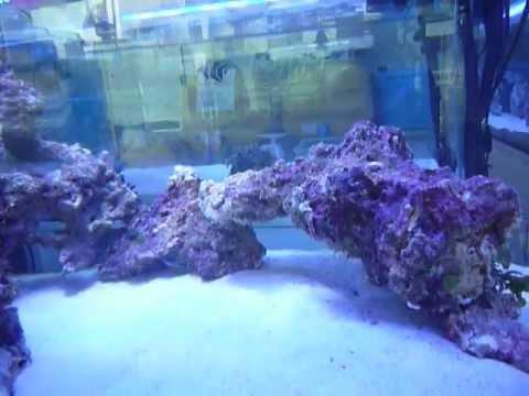 石灰藻たっぷり上質ライブロックレイアウト マリンキープ店