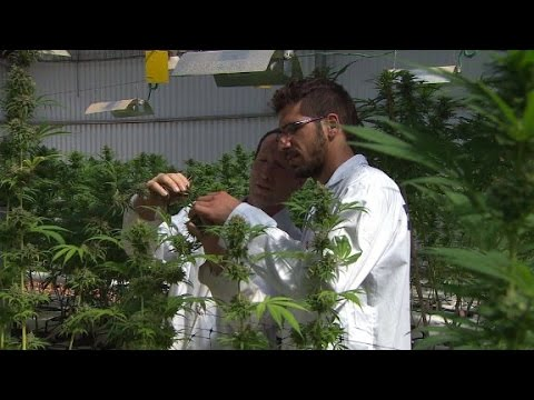 Israel's Next Export: Kosher Cannabis?