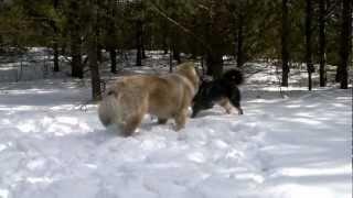 Mastif tybetański i Owczarek kaukaski
