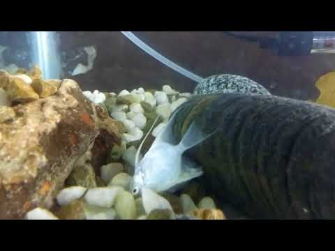 Silver Angel Fish Temperature And Water  Conditions