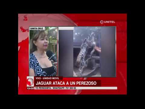 Jaguar ataca a un perezoso en el zoológico