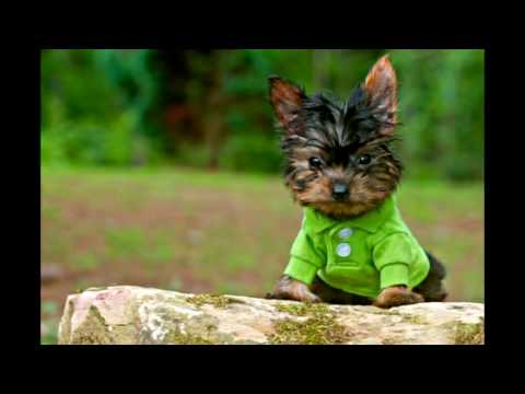 Top 10 smallest dog breeds in the world || TeN CouNts