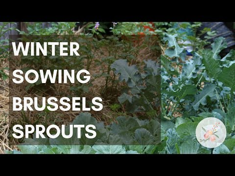 Winter Sowing Brussels Sprouts Seeds - Growing Brussel Sprouts in Zone 6b/7 - Urban Organic Garden
