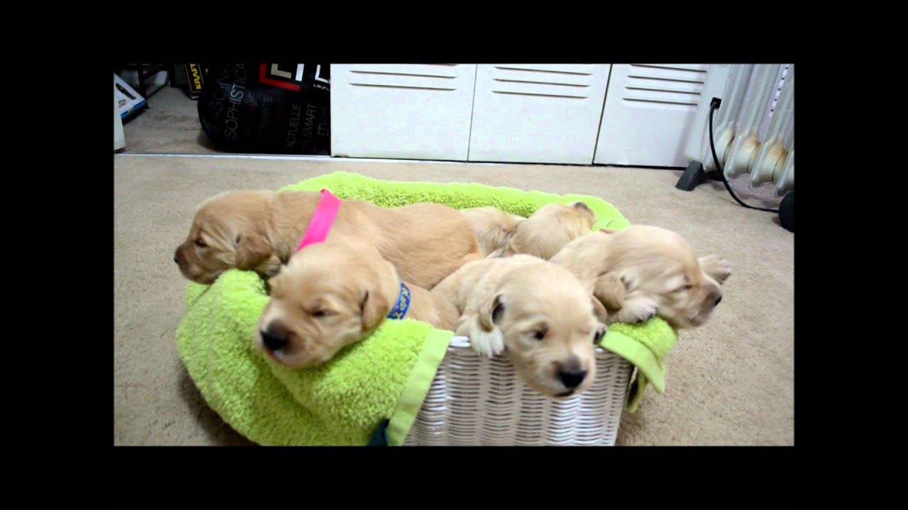 Beautiful Golden Retriever Puppies 12 Days Old Opening Their Eyes