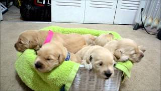 Beautiful Golden Retriever Puppies: 12 Days Old - Opening Their Eyes!