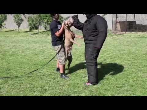"""andante-bandog-kennels-training---females-""""killa""""-and-""""mocca"""""""