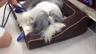 Snoopy chooses a new Dog Bed at PetSmart