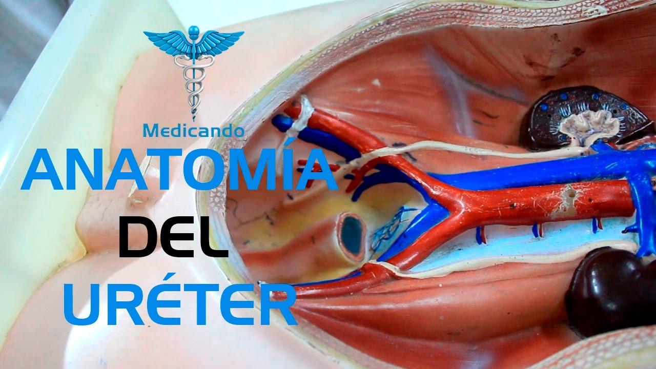 Anatomía del Uréter - YouTube