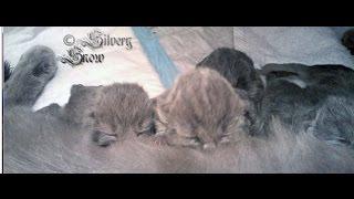 Британские котята онлайн (возраст неделя)