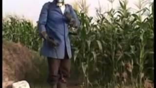 Maize Production Steps Including Application of Foliar Fertilizers Part II