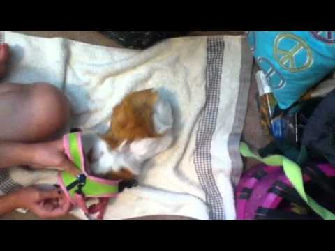 Guinea pig leash training request youtube guinea pig leash training request publicscrutiny Image collections