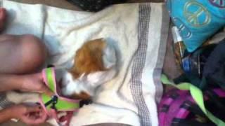 Guinea Pig Leash Training (request)