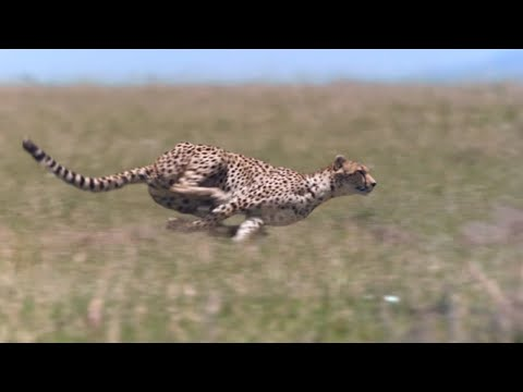 Cheetah - Chase Compilation