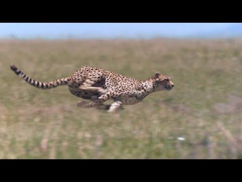 Cheetah - Chase Compilation