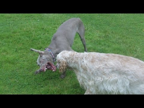 English Setter Otis & Sebastain Weimaraner having a ball.