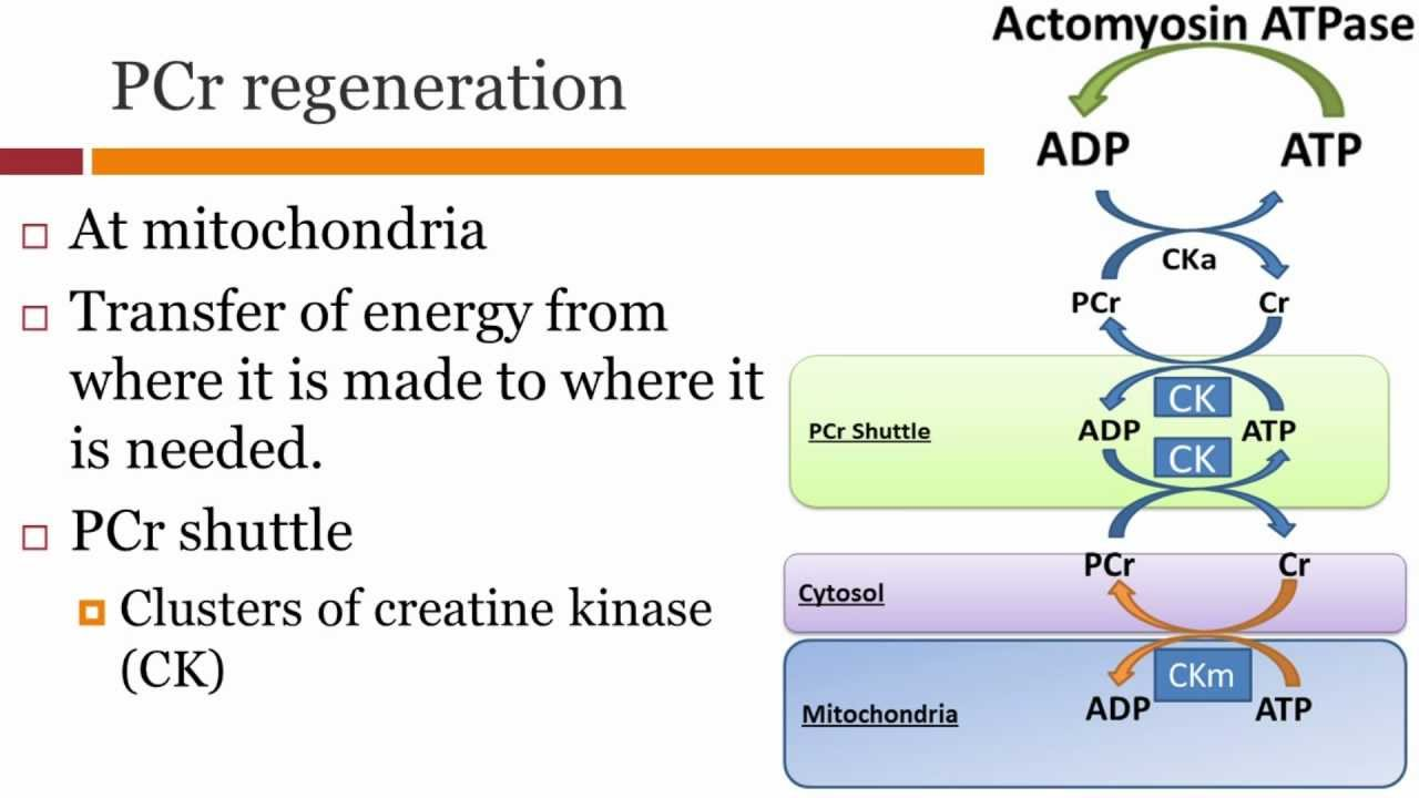 aerobic resynthesis of Can we simply infer mitochondrial function from pcr resynthesis after and the maximum aerobic simply infer mitochondrial function on the basis of.