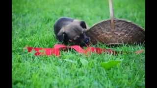 Cairn Terrier Mix Puppy For Sale