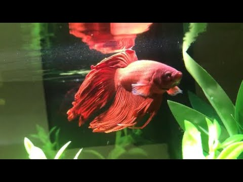 What Fish Can Bettas Live With