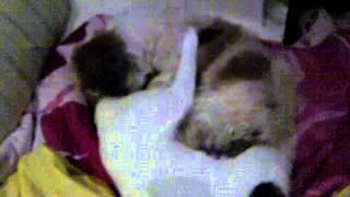 My Shih Tzu & Cat Playing Love Love.. Mola & Mongce