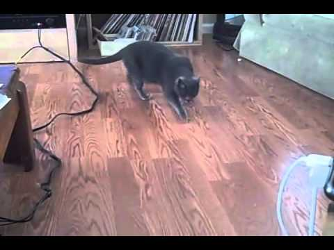 Cute Cat Trick: Cara my Cat hunting socks and fetching like a dog