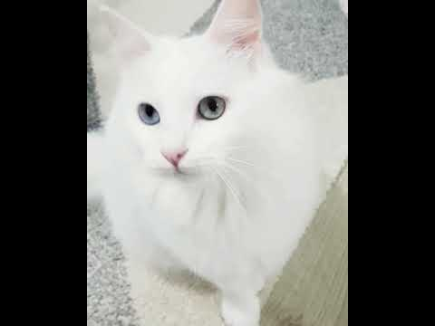 Turkish Angora / My Cat