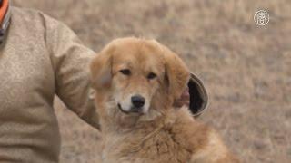 Тибетские мастифы снова пасут скот в степях Монголии (новости)