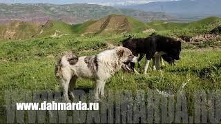 Аборигенные САО Таджикистана - саги дахмарда , моменты формирования