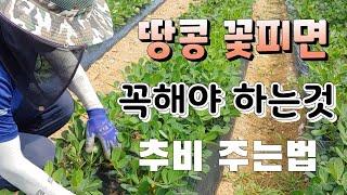 땅콩  다수확 꿀팁  땅콩 꽃피면 무조건 해 주어야 한…