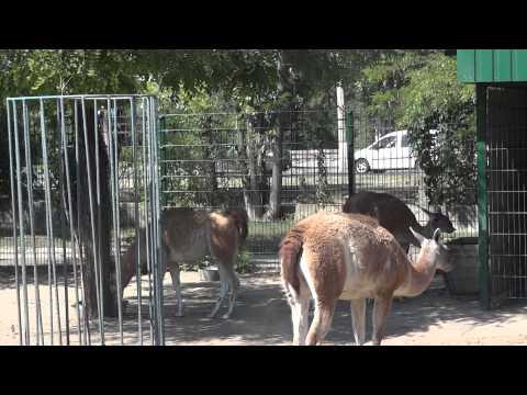 Guanaco / Lama guanicoe / Гуанако - 0074