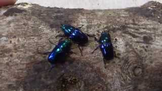 HD Blue Lamprima adolphinae from Kingdom of Beetle Taiwan (origin :Mt.Arfak,W.Irian,Indonesia).MP4