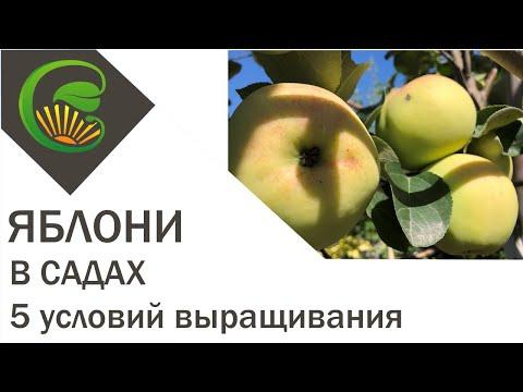 Яблони в садах. 5 условий выращивания