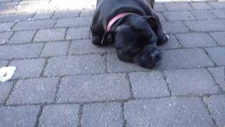 Obedient Staffordshire Bull Terrier Keeps Her Head Down!