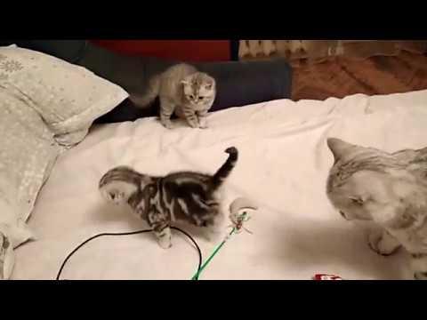 Продаются вислоухие и прямоухие шотландские котята
