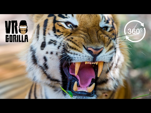The Eye Of The Tiger VR Experience (360 Video)