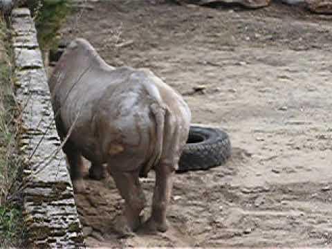 Eastern black rhinoceros enrichment