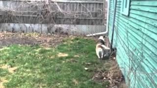 Beagle Zooming