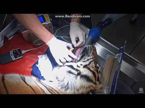 Priya The Tiger's Dental Procedure 10 8 17